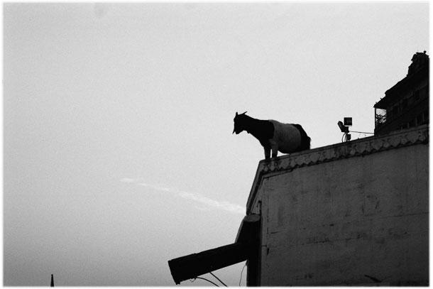 India, cows crawling in Varanasi