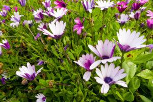 Carmel Mission Garden Flowers