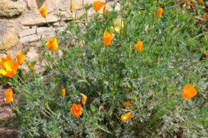 Flowers in Carmel Mission Garden