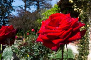 Carmel mission and crimson Rose after rain
