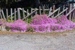 Carmel is a city full of flowers