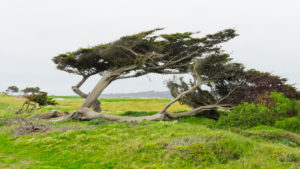 A tree twisted by strong sea breeze. 17-miles drive